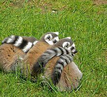 Ring Tailed Lemurs  by Kate Krutzner