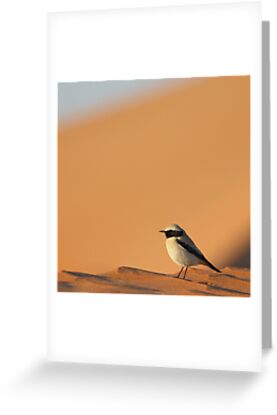 Desert Wheatear  by David Clark