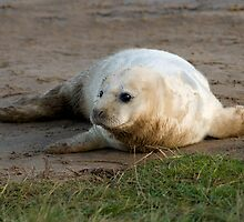 Atlantic Grey Seal Pup - (Halichoerus grypus) by Robert Taylor