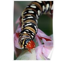 Black banded Lily borer caterpillar Poster