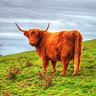 Highland Cows by Rob Hawkins