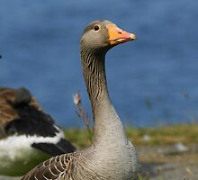 Greylag Goose by Moonlake