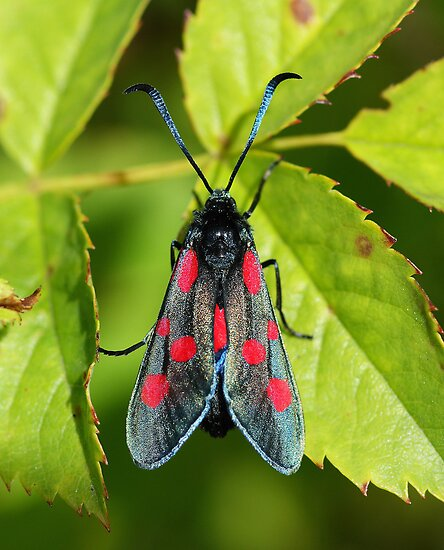 Burnet Moth by Moonlake