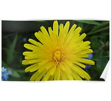 A bright yellow dandylion Poster