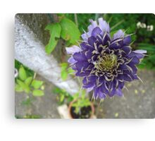 Canny Clematis - Surrey Canvas Print