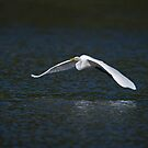 Egret in Flight by Daniel  Parent
