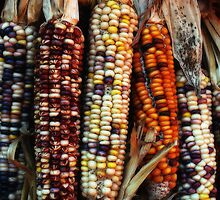 Corn Colors by Mattie Bryant