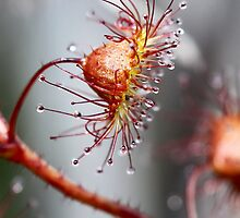 Climbing Sundew by LeeoPhotography