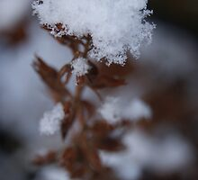 Winter Flower by Emily Liddle