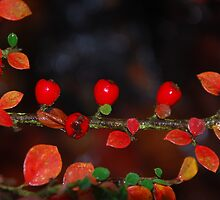 Winter Berries by Emily Liddle