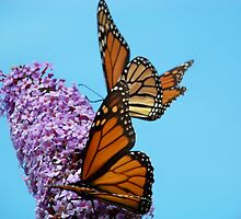 Monarchs by SuzPhotography