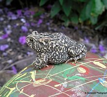 Mr. Toad on Painted Rock by Barberelli