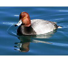 Redhead  Duck ~ Male II Photographic Print