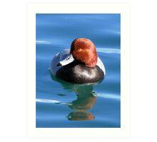 Redhead Duck ~ Male Art Print
