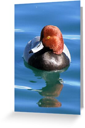 Redhead Duck ~ Male by Kimberly Chadwick