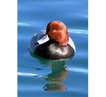 Redhead Duck ~ Male Photographic Print