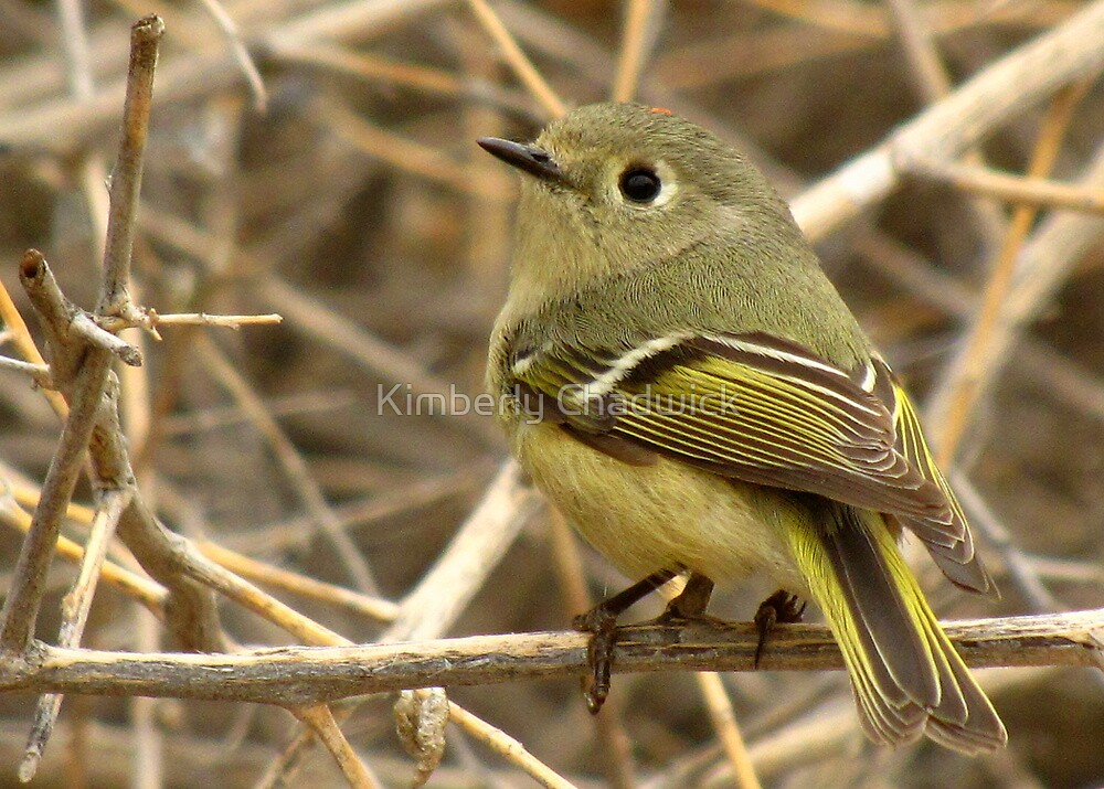 Ruby-crowned Kinglet by Kimberly Chadwick