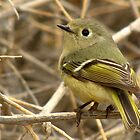 Ruby-crowned Kinglet by Kimberly P-Chadwick