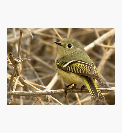 Ruby-crowned Kinglet Photographic Print