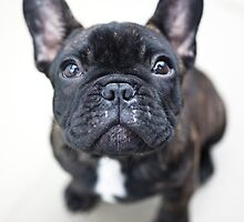 French Bulldog Puppy by ManwithaCamera