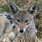 Drenched black backed jackal after rain  by jozi1