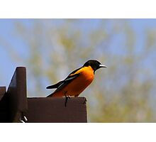NORTHERN ORIOLE Photographic Print