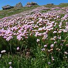 Sea Thrift by Anne Sanders