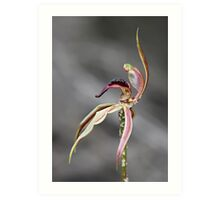 Heart-lip Spider Orchid Art Print