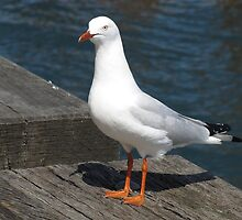 Seagull Striking the Pose by Janie. D