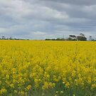 Canola fields by 2HPhotography