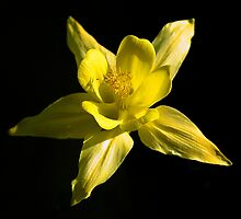 Yellow Colombine by John Dalkin