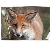 Young fox Poster