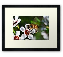 Bee landing on a Geraldton Wax flower Framed Print