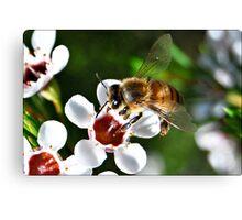 Bee landing on a Geraldton Wax flower Canvas Print
