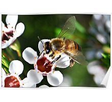 Bee landing on a Geraldton Wax flower Poster