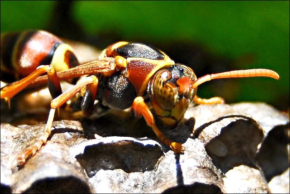 Paper Wasp guarding eggs by jodik75