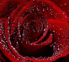 Red Rose in the rain by SJAPhoto
