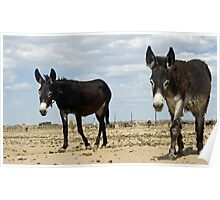 Two Burros Walking Toward Me Poster