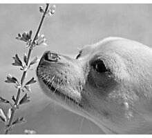 Chihuahua and the Important Message--Take Time to Smell the Flowers Photographic Print