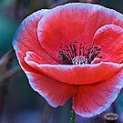 Poppy in the meadow  by DIANE  FIFIELD