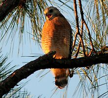 Red Shouldered Hawk 1 by Jim Sugrue