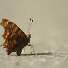 Comma butterfly by Taka