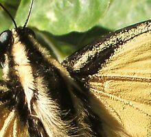 Butterfly (macro) by johntbell