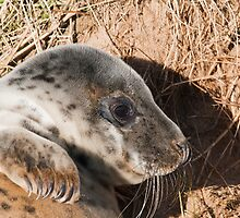 Young Grey Seal (song)  by Elaine123