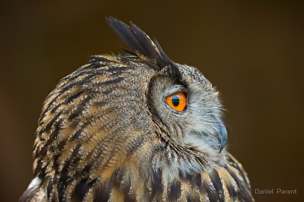 Eagle Owl Profile by Daniel  Parent