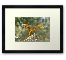 Dragonfly ~ Mexican Amberwing (Female) Framed Print