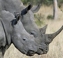 Mom white rhino and adolescent child! by jozi1