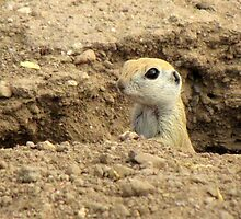 Round-tailed Ground Squirrel ~ Peek-a-boo by Kimberly Chadwick