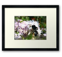Leafcutter Bee (Megachile) Framed Print