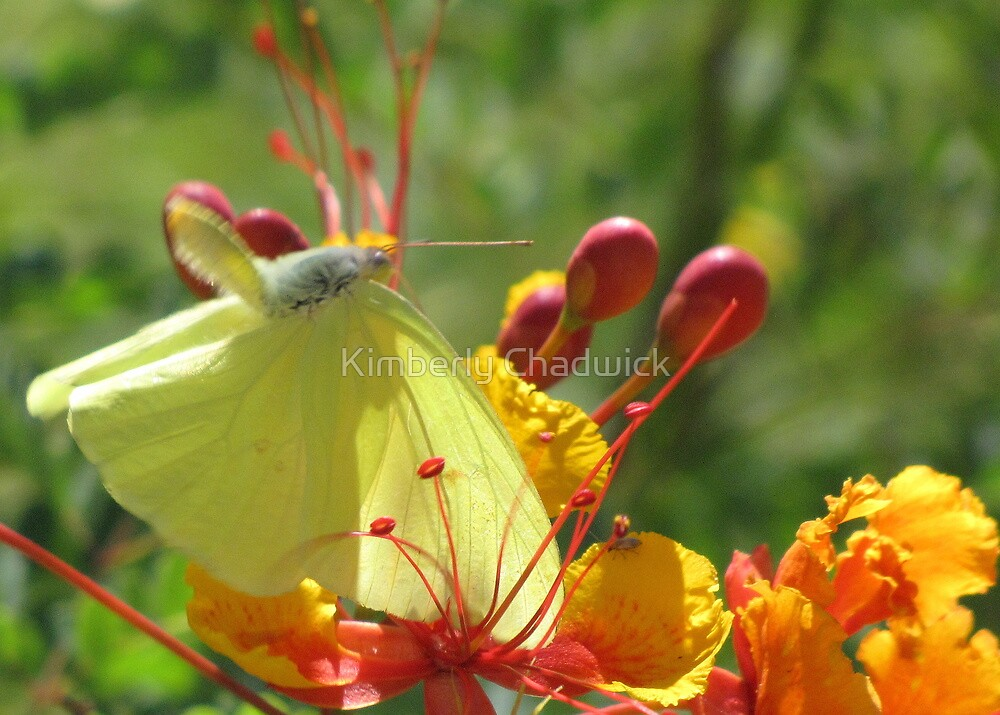 Butterfly ~ Cloudless Sulfur (Wings Down) by Kimberly Chadwick